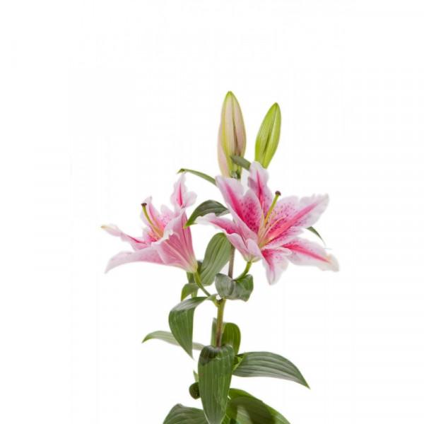 Oriental Lilies Pink